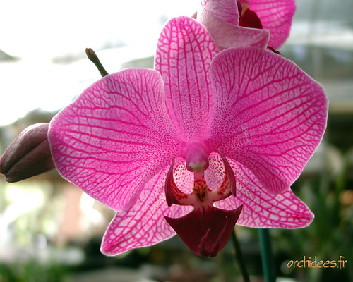 phalaenopsis-hybride-1280