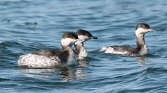 Horned grebe trio - by Henry Mc