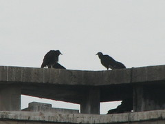 black vultures OOS Hueston Woods