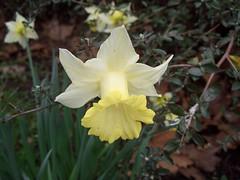 Burgess Park Daffodils