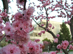 blossoms (emdot) Tags: pink flower library sakura cherryblossoms librariesandlibrarians ll100