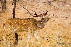 Never underestimate your power to change yourself. Never overestimate your power to change others. (wildphotons) Tags: india rajasthan specanimal animalkingdomelite superbmasterpiece chitaldeeraxisaxisranthambhorenationalpark