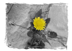 Lonely (. SantiMB .) Tags: flowers bw flores macro cutout psp desaturation paintshoppro blueribbonwinner desaturacin supershot abigfave goldenphotographer