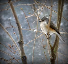 Winter - Tufted Titmouse waiting out a snow storm (blmiers2) Tags: winter snow newyork bird nature beautiful birds canon geotagged wildlife powershot uccelli g6 titmouse tufted birdwatching avian 2007 smallbirds tuftedtitmouse wildbirds baeolophusbicolor passeriformes aninals backyardbirds paridae birdphoto titmousebird birdpictures commonbirds natureinwinter titmousephotos tuftedtitmousephotos tuftedtitmousephoto tuftedtitmousephotographs titmousephoto picturesbirds blm18 blmiers2