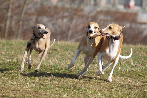 Whippets in action (Coco, Marley and Nisha)