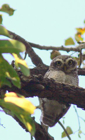 spotted owlet beauty Lalbagh 7 Mar 07