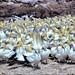 Südafrika Westcoast Lambert's Bay: Cape Gannets - Kolonie