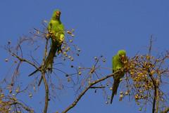 Immigrazione clandestina - 2 (Parrots in Rome) - by leosagnotti