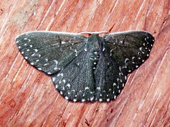 Moth, Geometrid (Mangiwau) Tags: indonesia nocturnal moth lepidoptera moths papua emerald westpapua geometrid geometrinae subfamily irian irianjaya tekai nationalmothweek
