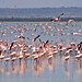 Lots of flamingos 3