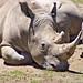 Lying rhinoceros