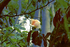 Yellow Rose! (maginoz1) Tags: rose yello red pink abstract art manipulate flowers flora summer december 2016 bullarosegarden melbourne victoria australia canon g3x gumtrees