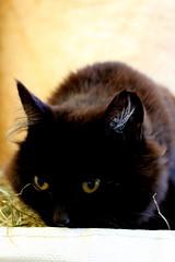 (elena.sim) Tags: cat black iceland yellow eyes winter cold