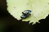 Endelus bakerianus Obenberger, 1924. Buprestidae. 4-5mm (David Ball.) Tags: buprestidae endelus singapore canon270exii