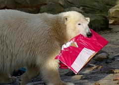 Lili (BrigitteE1) Tags: lili geburtstagsfeier birthdayparty eisbär hartzpolar бяламечка 北極熊 北极熊 ᐧᐋᐸᔅᒄ isbjørn polarbear jääkaru jääkarhu oursblanc hvítabjørn λευκήαρκούδα nanoq beruangkutub ᓇᓄᖅ béarbán ísbjörn hvítabjörn orsopolare 白熊 シロクマ ホッキョクグマ óspolar 북극곰 polarnimedvjed polārlācis baltasislokys bercribe äisbier цагаанбаавгай ysbeer īsbera ağayı arzhgwenn blankaurso ātlācamāyeh shashłigaígíí ijsbeer niedźwiedźpolarny ursopolar ursalv urspolar белыймедведь белимедвед medveďbiely belimedved běłymjadwjeź běłymjedwjedź osopolar dububarafu medvědlední kutupayısı білийведмідь jegesmedve arth wen bär bear ours ursus zooammeerbremerhaven deutschland