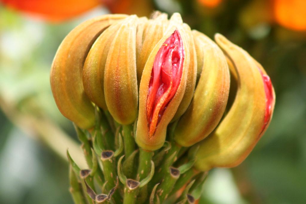 Uma série com Flores da Lanterneira, Tulipa Africana - A series with the African Tulip Tree's Flowers (Spathodea campanulata) 27 332