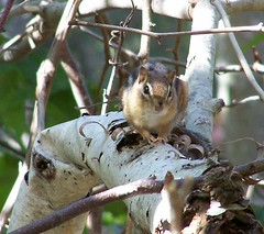 Chipmunk (gaytennisjay) Tags: bestnaturetnc06