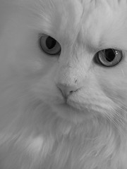 Emilly (mauzlover) Tags: bw pet cats pets black animal animals cat persian emily feline withe kitty katze whitecat perser emilly cc100 abigfave kittysuperstar bestofcats impressedbeauty cat1100 ultimateshot theenchantedcarousel mauzlover