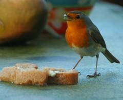Robin in my garden...Roodborstje in mijn tuin (Truus) Tags: bird garden tuin lekker vogel beltrum brood roodborstje truus specanima abigfave anawesomeshot lychnisdiurnia