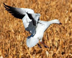 Spread Snow Goose Landing (Fort Photo) Tags: white newmexico bird nature birds animal geese bokeh wildlife birding 2006 aves goose bosque ave birdsinflight trophy nm waterfowl ornithology bosquedelapache avian bif snowgeese anatidae snowgoose whitemorph anseriformes chencaerulescens wildbird snoowgoose featheryfriday birdphoto anserinae outstandingshots specanimal abigfave shieldofexcellence bestnaturetnc06 impressedbeauty aplusphoto