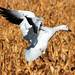 Spread Snow Goose Landing - by Fort Photo