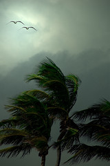 Gulls and Palms In The Wind (lynne bernay-roman) Tags: seagulls clouds palms bravo windy soaring feelthewindonyourbody