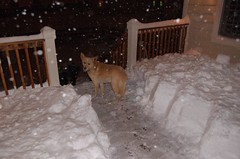 Steve carves a safe puppy passage through the snow