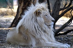 Letsatsi. The White Lion (Arno Meintjes Wildlife) Tags: africa wallpaper nature southafrica bush leo wildlife lion safari explore bigcat predator rsa carnivore foveon pantheraleo parkstock interestingness364 i500 specanimal genuspanthera abigfave letsatsi superbmasterpiece arnomeintjes virtualjourney