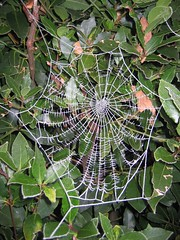 frost spiderweb