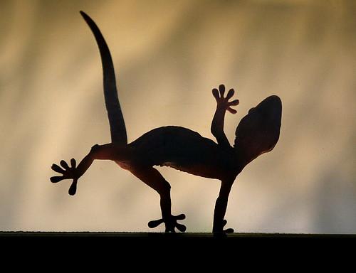 Dancing Gecko