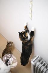 _MG_5333 (junku) Tags: cats cat canon eos kitten sigma kitties nana 5d  kin rika   sigma50mmf28exdgmacro canoneos5d eos5d