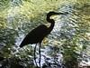 Heron  silhouette (birdwatcherus) Tags: bestnaturetnc06