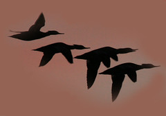 Merganser Silhouette (William  Dalton) Tags: birds silhouette birdsinflight merganser flyingbirds birdsilhouette