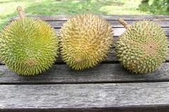 Durian: D24, Teka, Raja