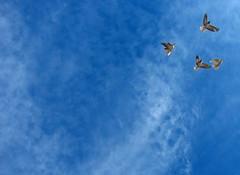 blue flight (Alieh) Tags: blue sky birds freedom fly iran persia bluesky  esfahan isfahan       aliehs alieh abigfave