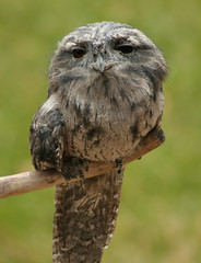 Tawny Frogmouth (1981Adam) Tags: park travel vacation bird conservation australia owl tasmania devil hobart tas tassie tasmanian portarthur podargusstrigoides nightjar nightjars impressedbeauty tasmaniandevilconservationpark