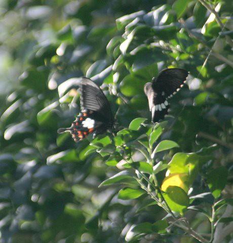 1 mating of Common Mormon