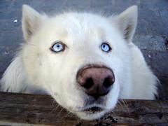 perro lobo