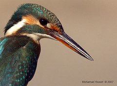 Kingfisher - Portrait (dawey [Mohammad Alhameed]) Tags: bird 20d birds iso200 raw canon20d ev kingfisher kuwait  mohammad eos20d f9 rawfile biglens 400mm mohamad jahra picturecollection 1640 vwc specanimal  kuwaitwildlife canon400mm dawey lens400mm  kuwaitvoluntaryworkcenter  photovwc kuwaitvwc