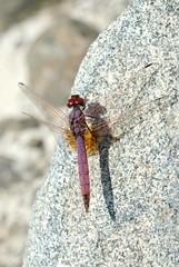 Trithemis annulata (Bob Reimer) Tags: fieldtrip oman trithemisannulata enhg wilayatmahdah afrathe