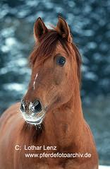 qh-s0408 (Lothar Lenz) Tags: portrait horse caballo cheval cavalo pferd hest equus quarterhorse paard hst qh hestur konj hobu zirgs lotharlenz