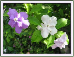Brunfelsia pauciflora / B.calycina (Yesterday-today-tomorrow)