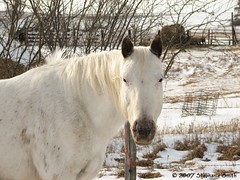 White as snow (steffofsd) Tags: horse snow animal southdakota canon mare pony poa equine ponyoftheamericas