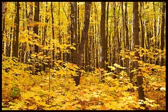 Yellow Forest - by Jim