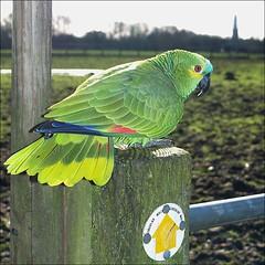 Parrot seen at Hampton Poyle (dreamsee) Tags: england bird nature lost wildlife parrot birdwatching stmaryschurch oxfordshire kidlington rarebird hamptonpoyle