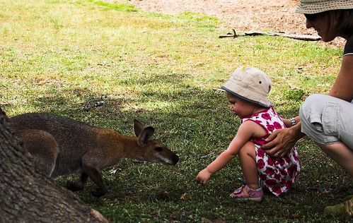 Feeding the Wallaby