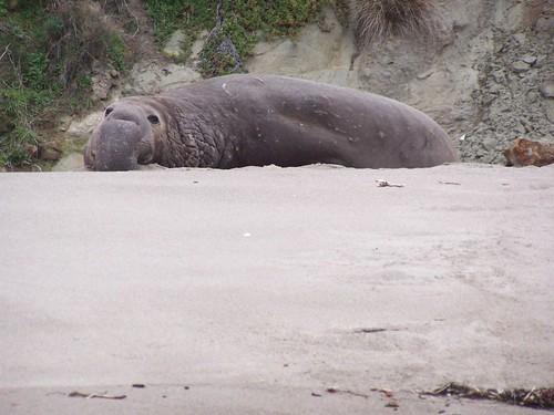 20070130 Elephant Seal