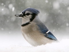 Birds at the feeder (Padrone) Tags: snow ontario bluejay 14extender 70200mmf28lis top20birdshots avianexcellence