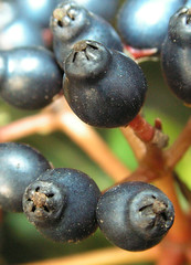 Blue Berries2