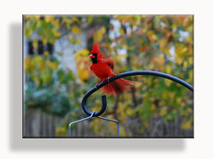 (Dennis J2007) Tags: birds animals cardinal cardinals northerncardinal d80 northerncardinalmale